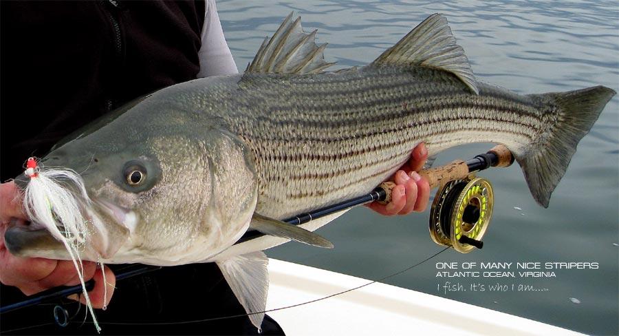 Virginia fishing report cbbt chesapeake bay bridge for Chesapeake bay fish